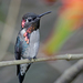 Bee Hummingbird - Photo (c) Josh Vandermeulen, some rights reserved (CC BY-NC-ND)