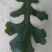 Quercus macrocarpa - Photo (c) natcapfor, algunos derechos reservados (CC BY-NC)