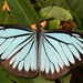Pareronia hippia - Photo (c) Beas Chakraborty, algunos derechos reservados (CC BY-NC)
