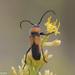 Crossidius coralinus - Photo (c) Kristie Nelson, algunos derechos reservados (CC BY-NC)