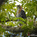 Águila Elegante - Photo (c) angel_castillo_birdingtours, algunos derechos reservados (CC BY-NC)