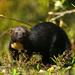 Viejo de Monte - Photo (c) David Cook Wildlife Photography, algunos derechos reservados (CC BY-NC)