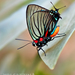 Black-veined Hairstreak - Photo (c) Eduardo Axel Recillas Bautista, some rights reserved (CC BY-NC)