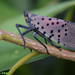 Spotted Lanternfly - Photo (c) Kim, Hyun-tae, some rights reserved (CC BY-NC)