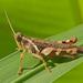 Xenocatantops humilis - Photo (c) djhiker, algunos derechos reservados (CC BY-NC)