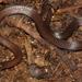 Culebrita de Tierra Roja - Photo (c) Alex Rebelo, algunos derechos reservados (CC BY-NC)