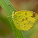 Common Grass Yellow - Photo (c) djhiker, some rights reserved (CC BY-NC)