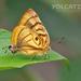 Mariposa Sedosa Ojos de Tigre - Photo (c) Eduardo Axel Recillas Bautista, algunos derechos reservados (CC BY-NC)