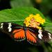 Mariposas Organillo, Pasionarias Y Parientes - Photo (c) Thomas Bresson, algunos derechos reservados (CC BY)