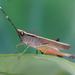 Phlaeoba antennata - Photo (c) Sandy Ng, algunos derechos reservados (CC BY-NC)