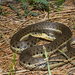 Two-striped Garter Snake - Photo (c) Travis W. Reeder, some rights reserved (CC BY-NC)