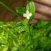 Epilobium pseudorubescens - Photo (c) Natalya, algunos derechos reservados (CC BY)