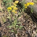 Pale Showy Goldenrod - Photo (c) apcorboy, some rights reserved (CC BY-NC), uploaded by Annabelle Corboy