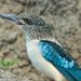 Spangled Kookaburra - Photo (c) Doug Janson, some rights reserved (CC BY-SA)