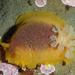 Doriopsilla albopunctata - Photo (c) Robin Gwen Agarwal, algunos derechos reservados (CC BY-NC)