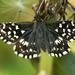 Pyrgus malvae - Photo (c) Walwyn, alguns direitos reservados (CC BY-NC)