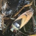 Notonecta glauca - Photo (c) Andre Hosper NL, alguns direitos reservados (CC BY)