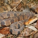 Midland Watersnake - Photo (c) Jacklyn A. Kovacs, some rights reserved (CC BY-NC-SA)