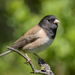 Dark-eyed Junco - Photo (c) Becky Matsubara, some rights reserved (CC BY)