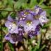Polemonium reptans - Photo (c) billy liar, algunos derechos reservados (CC BY-NC-SA)