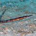 Syngnathus - Photo (c) Kevin Bryant,  זכויות יוצרים חלקיות (CC BY-NC-SA)