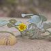 Arctotheca populifolia - Photo (c) FOSTER, algunos derechos reservados (CC BY-NC)