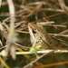 Ryukyu Brown Frog - Photo (c) Hong, some rights reserved (CC BY-NC)