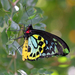 Cairns Birdwing - Photo (c) geekgirl24, some rights reserved (CC BY-NC-ND)