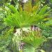Platycerium superbum - Photo (c) Edward L. Ruden, algunos derechos reservados (CC BY-NC)