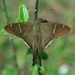Teleus Longtail - Photo (c) Chuck Sexton, some rights reserved (CC BY-NC)