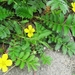 Common Silverweed - Photo (c) M.M. R, some rights reserved (CC BY-NC)
