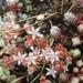 Sedum brevifolium - Photo (c) Andre Hosper NL, some rights reserved (CC BY)