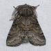 Gluphisia septentrionis - Photo (c) Ilona L, μερικά δικαιώματα διατηρούνται (CC BY-NC-SA)
