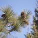 Pinus jeffreyi - Photo (c) Ewen Roberts,  זכויות יוצרים חלקיות (CC BY)