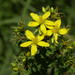 Common St. John's-Wort - Photo (c) Paul Reeves, some rights reserved (CC BY-NC-SA)