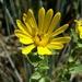 Grindelia lanceolata - Photo (c) nativefishnic,  זכויות יוצרים חלקיות (CC BY-NC), uploaded by Nicholas Martinez