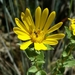 Narrowleaf Gumweed - Photo (c) nativefishnic, some rights reserved (CC BY-NC), uploaded by Nicholas Martinez
