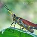 Chromacris - Photo (c) Eduardo Axel Recillas Bautista, algunos derechos reservados (CC BY-NC)