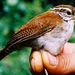 Rufous-and-white Wren - Photo (c) Andres Cuervo, some rights reserved (CC BY-SA)