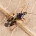 Anthocoris nemorum - Photo (c) Nikolai Vladimirov, algunos derechos reservados (CC BY-NC)