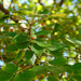 Chinese Hackberry - Photo (c) Tony Rodd, some rights reserved (CC BY-NC-SA)
