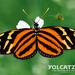 Mariposa Tigre de Alas Largas - Photo (c) Eduardo Axel Recillas Bautista, algunos derechos reservados (CC BY-NC)