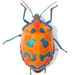 Hibiscus Harlequin Bug - Photo (c) Sam Fraser-Smith, some rights reserved (CC BY)