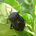 Bronze Orange Bug - Photo (c) Brissy Girl - Jan, very busy but trying to keep up, some rights reserved (CC BY-SA)