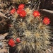 Echinocereus mombergerianus - Photo (c) Donna Miller, algunos derechos reservados (CC BY-NC)