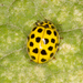 22-spot Ladybird - Photo (c) Jarvo, some rights reserved (CC BY-NC)