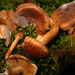 Tricholoma imbricatum - Photo (c) natureluvr01, some rights reserved (CC BY)