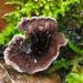 Hydnellum concrescens - Photo (c) jacinta lluch valero, μερικά δικαιώματα διατηρούνται (CC BY-SA)