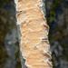 Byssomerulius corium - Photo (c) Amadej Trnkoczy, algunos derechos reservados (CC BY-NC-SA)