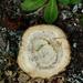 Inonotus tomentosus - Photo (c) eskimo_jo, algunos derechos reservados (CC BY-NC-ND)